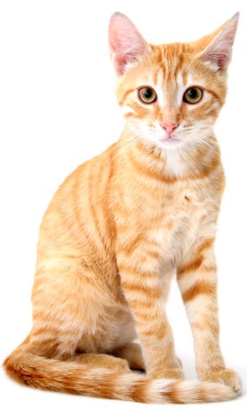 tabby-feline-standing
